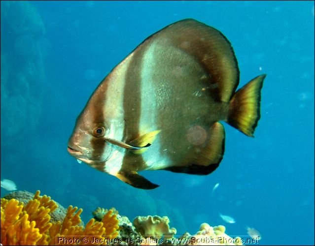 5-batfish-platax-0855-c1m1-great-barrier-reef.jpg