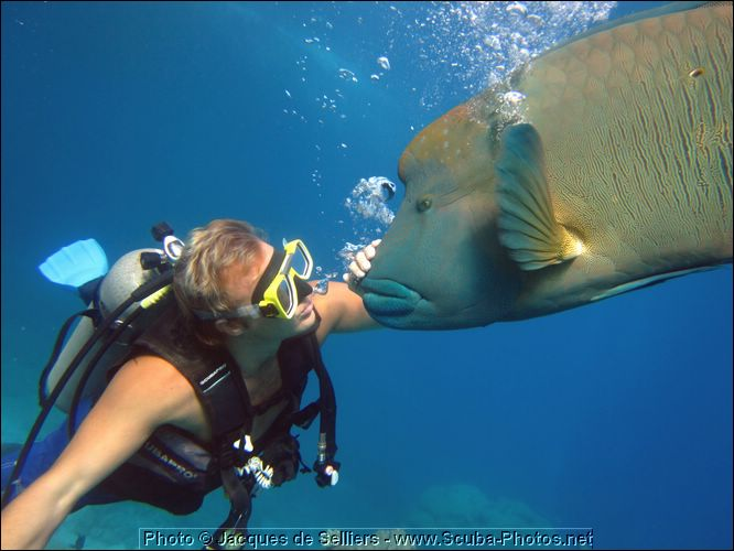 5-napoleon-wrasse-frankie-1095-m1-great-barrier-reef.jpg