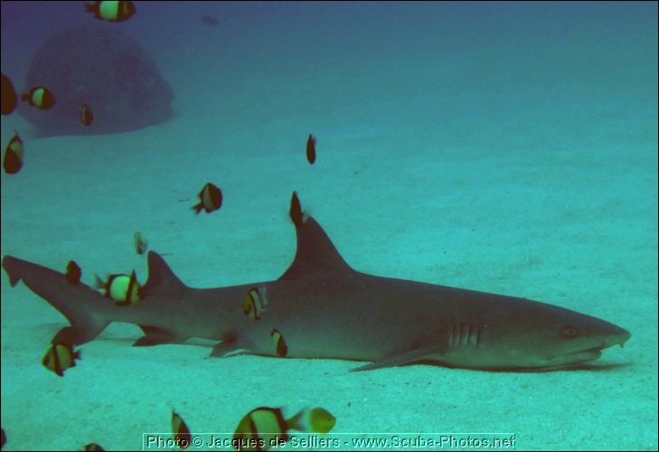 7-reef-shark-1137-m3-great-barrier-reef.jpg