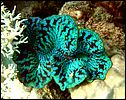 3-giant-clams-tridacna-1227-c1-great-barrier-reef.jpg